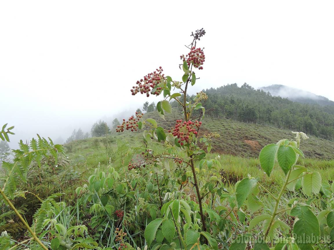 plantas de mora que hay en el cerro quitasol