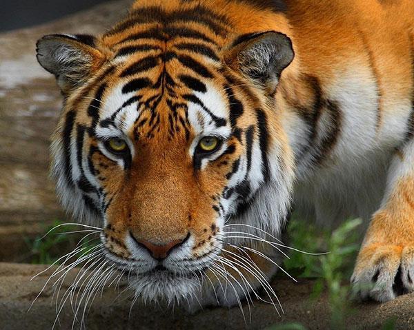 tiger ka photo hd tiger ka photo dikhaiye