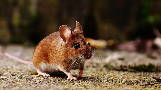 دراسة جديدة على الفأر تسلط ضوءا على تكوين الدهون