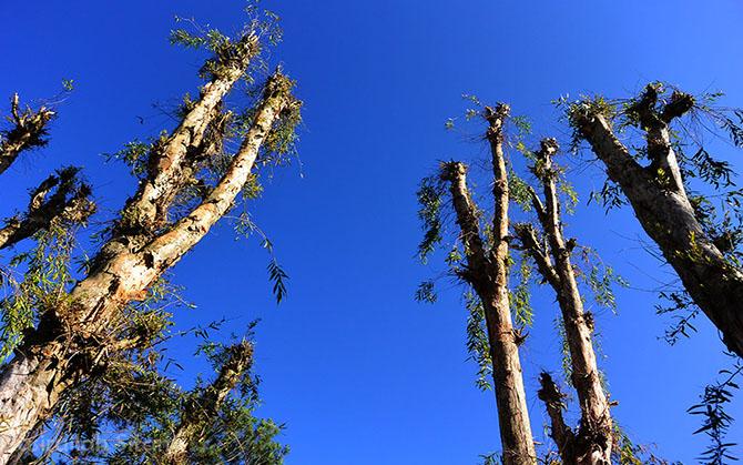 Batang-batang Pohon Kayu Putih