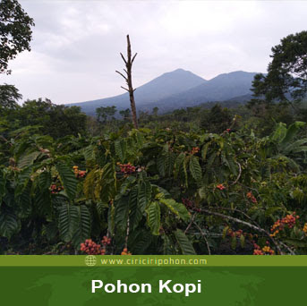 ciri ciri pohon robusta