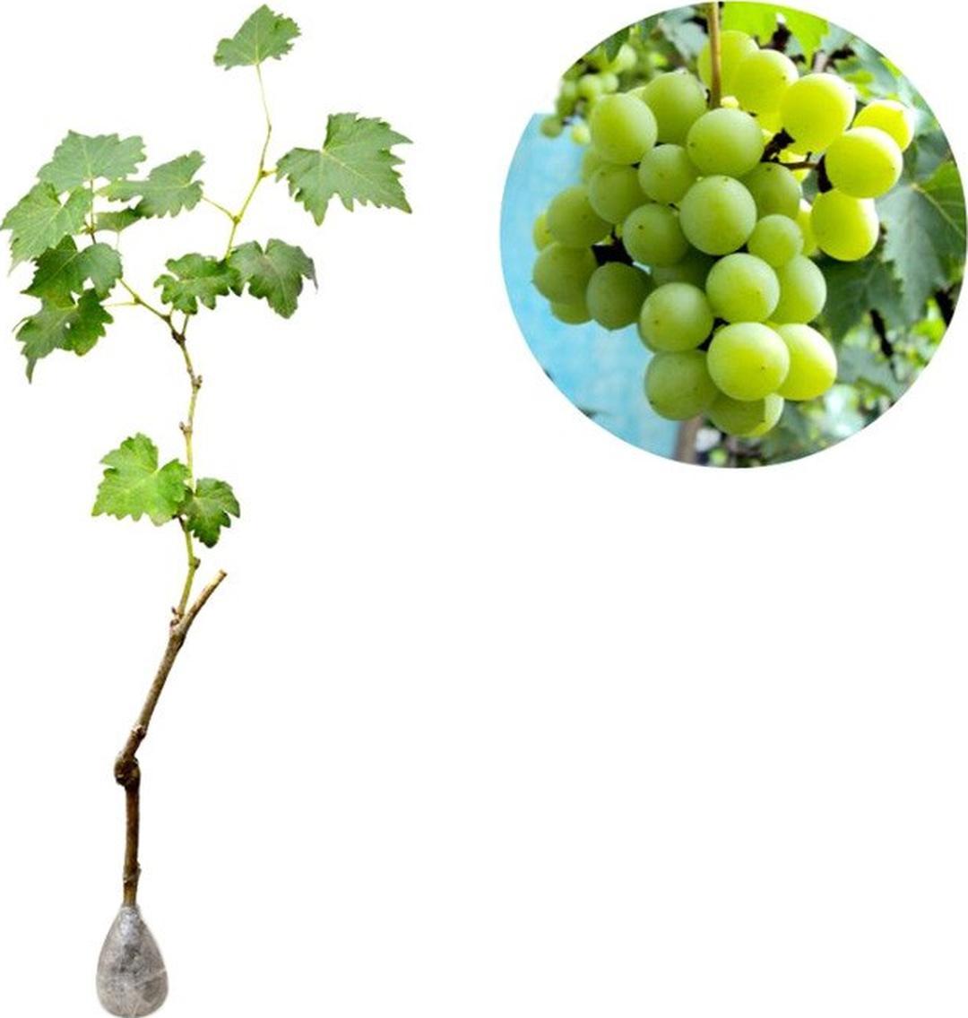Istimewa! Bibit Buah Anggur Hijau Green Belgium Kota Kediri #bibit buah genjah