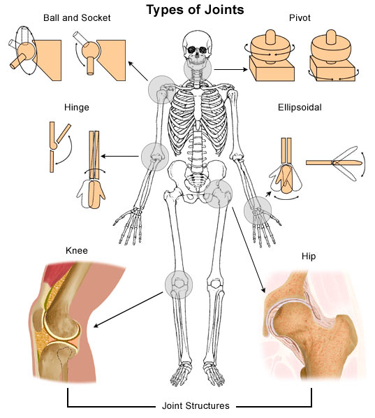Types of joints in the human body