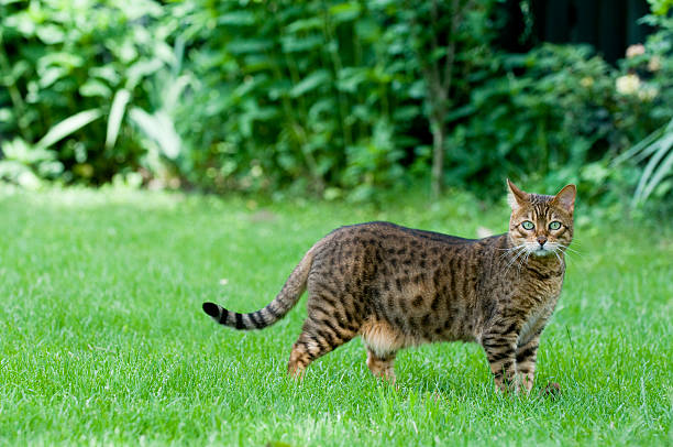 Bengal Cats – Wild Looking Exotic Pets
