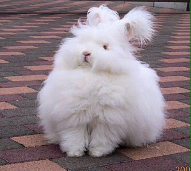 Animals, Angora rabbit