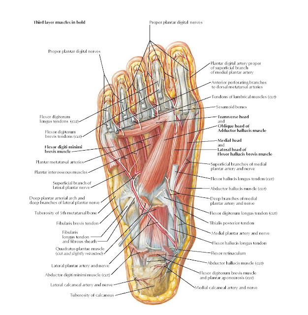 Muscles of Plantar Region of Foot: Third Layer Anatomy