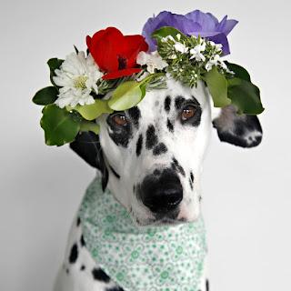 Dalmatian DIY on social media