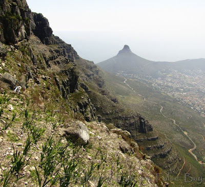 Table Mountain Left Face  B with hands no ropes. (Watsonia leaves are now covered in pink flowers)