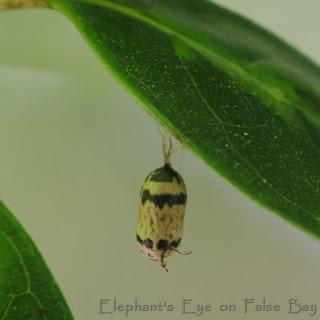 Ichneumonid wasp pupa