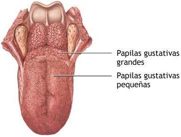Imagen de una lengua en donde se indica las papilas gustativas grandes y pequeñas