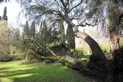 un albero caduto nel giardino di ninfa è nuova vita