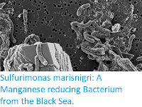 https://sciencythoughts.blogspot.com/2019/06/sulfurimonas-marisnigri-manganese.html