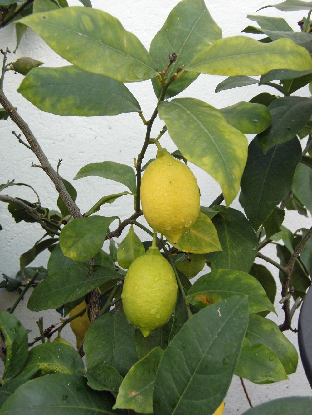 Lemon Green Colour