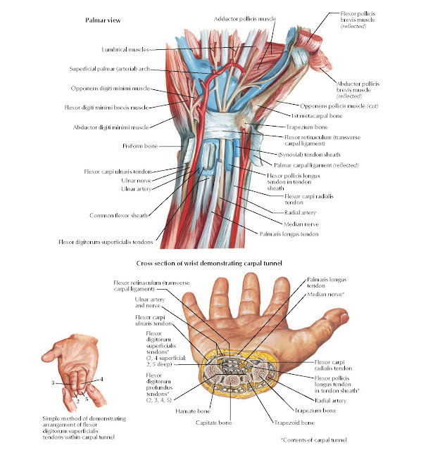 Flexor Tendons, Arteries, and Nerves at Wrist Anatomy