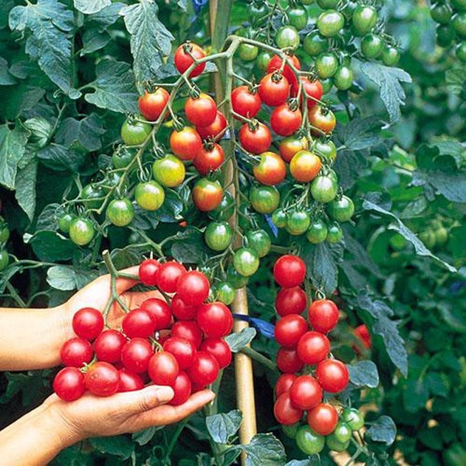 Benih Bibit Tomat Cherry Mix Garden Sumatra Barat