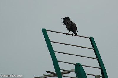 Estornell cantant a sobre d'una antena
