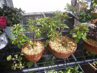 ツツジ 鉢植え ミニ盆栽