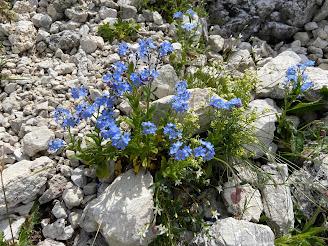 [Boraginaceae] Myosotis sp. – Forget Me Not (Nontiscordardimè)