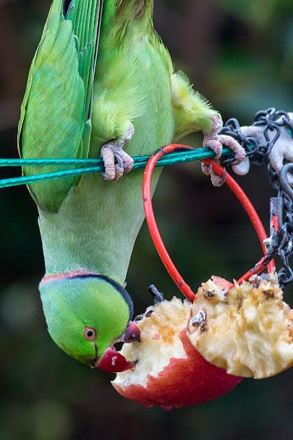 Ring Necked Parakeet feeding on apples in a Kent garden
