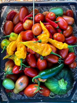 harvest basket full with tomatoes on the bottom, a zucchini in the corner, and topped with bright yellow peppers