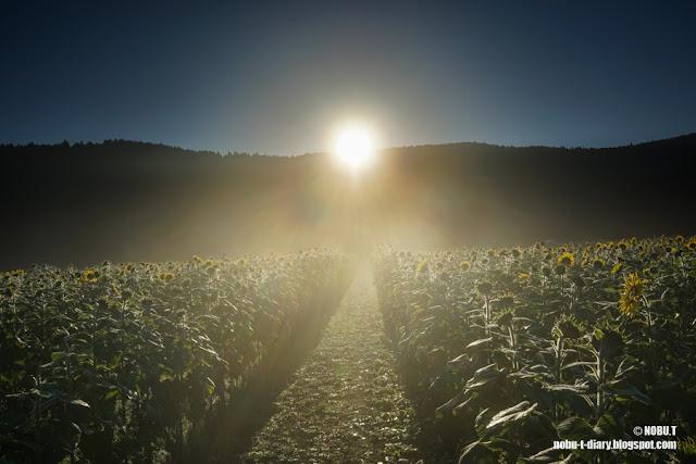 ヒマワリ畑の日の出