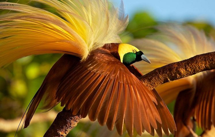 Cenderawasih, Burung Terindah di Dunia