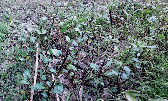 Kangkong plants