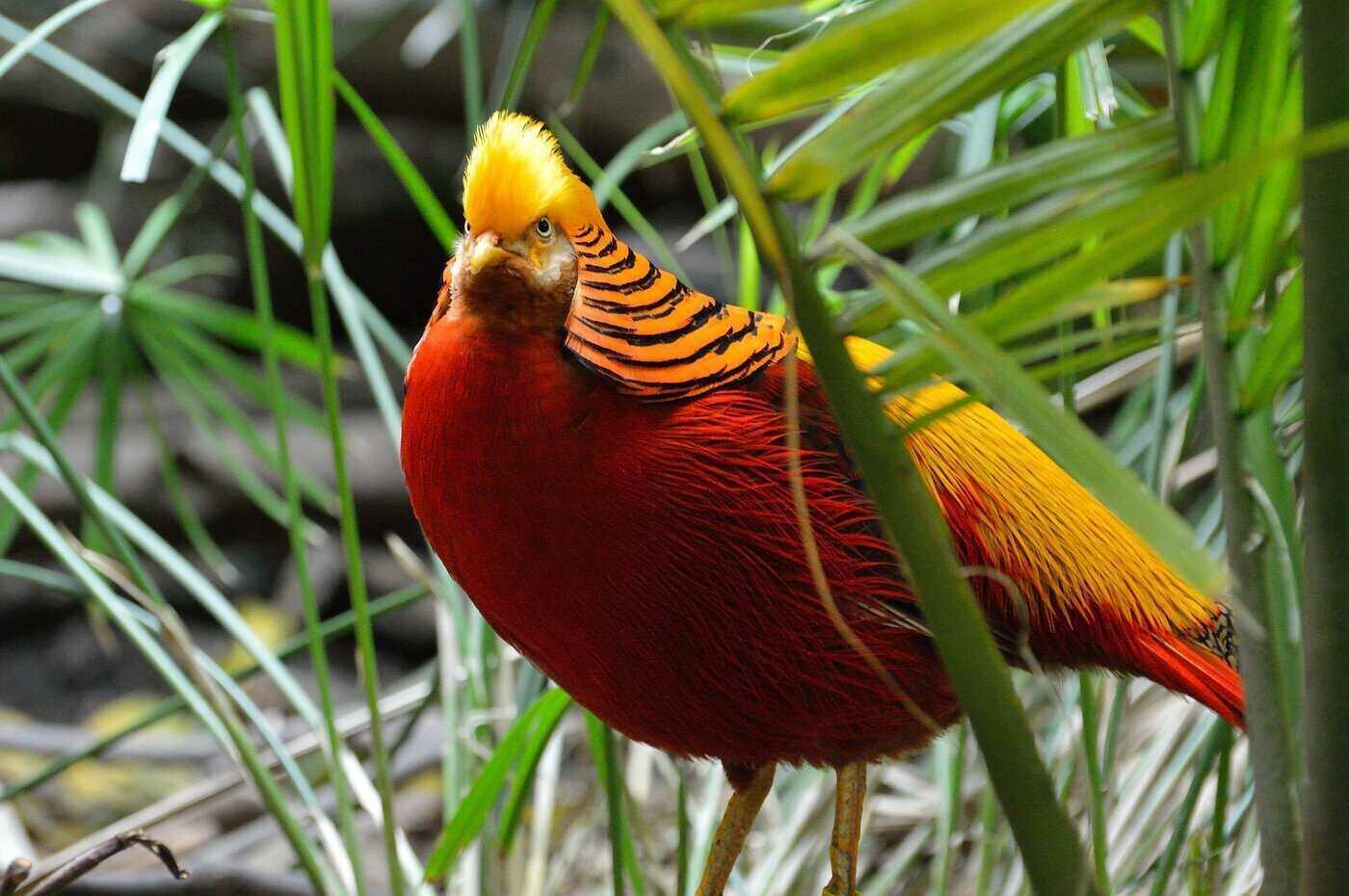 golden pheasant in grass - 20 cool golden pheasant facts
