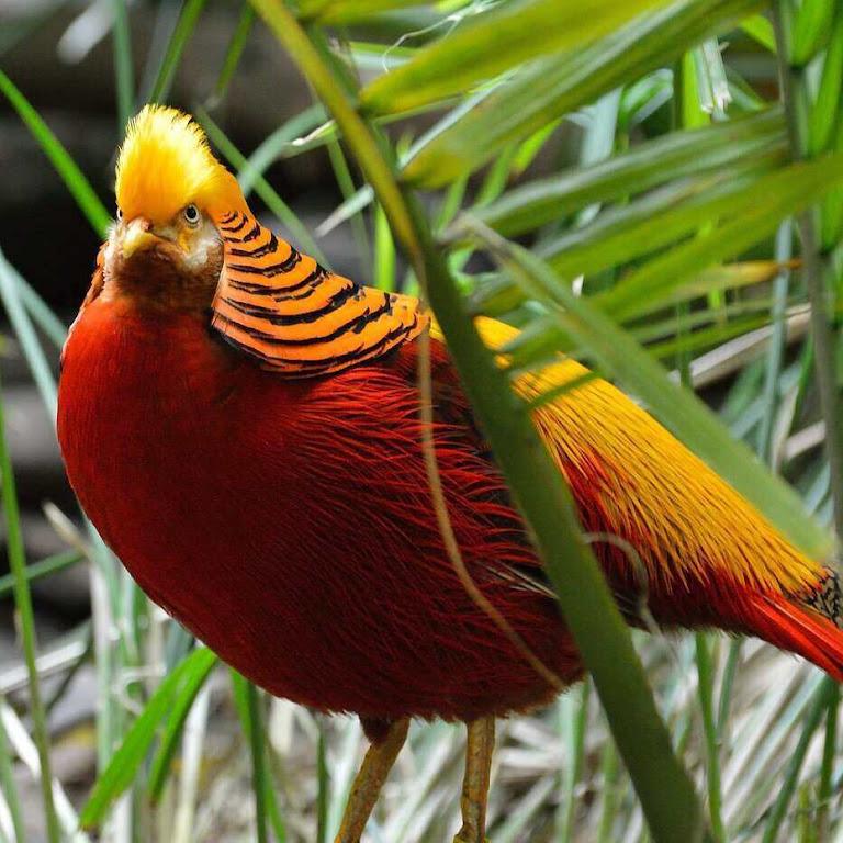 20 Cool Golden Pheasant Facts (aka Chrysolophus pictus)