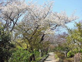 源氏山公園のオオシマザクラ