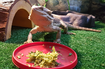 why my bearded dragon not eating