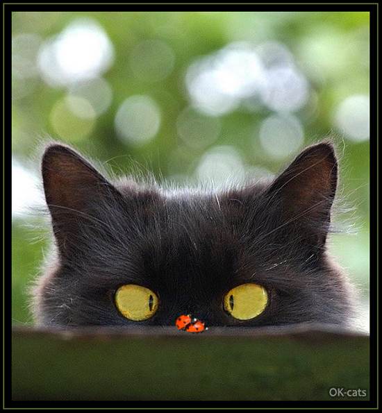 Photoshopped Cat picture • Funny cross-eyed cat looking at 2 ladybugs having sex