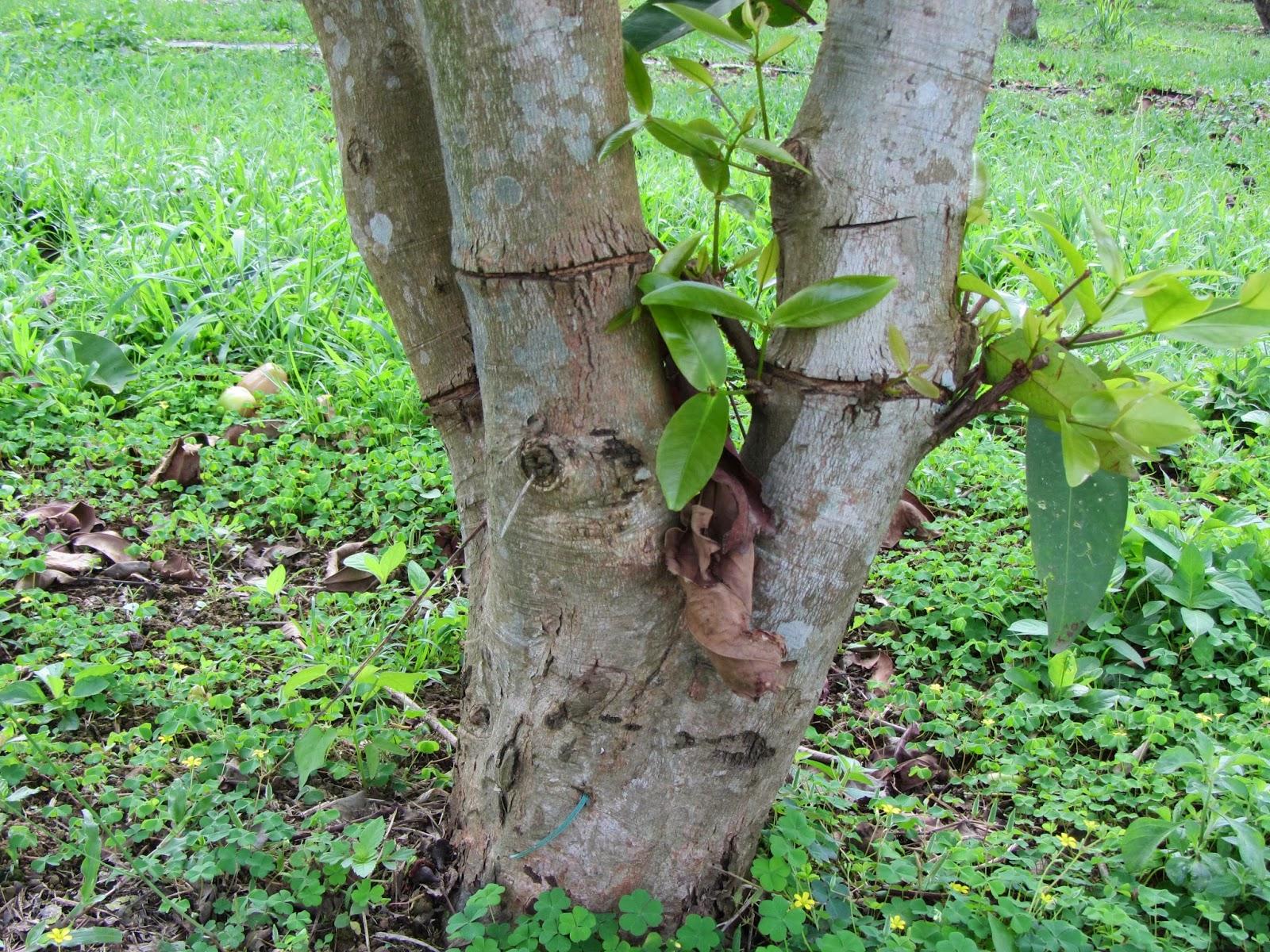 Estudiando agricultura en taiw n anillado en troncos y ramas for Investigacion de arboles