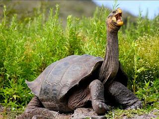 kura-kura-galapagos-terbesar-di-dunia.jpg