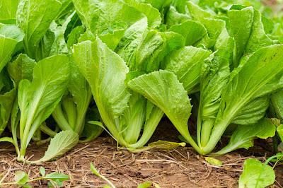 kaya manfaat sayuran sawi