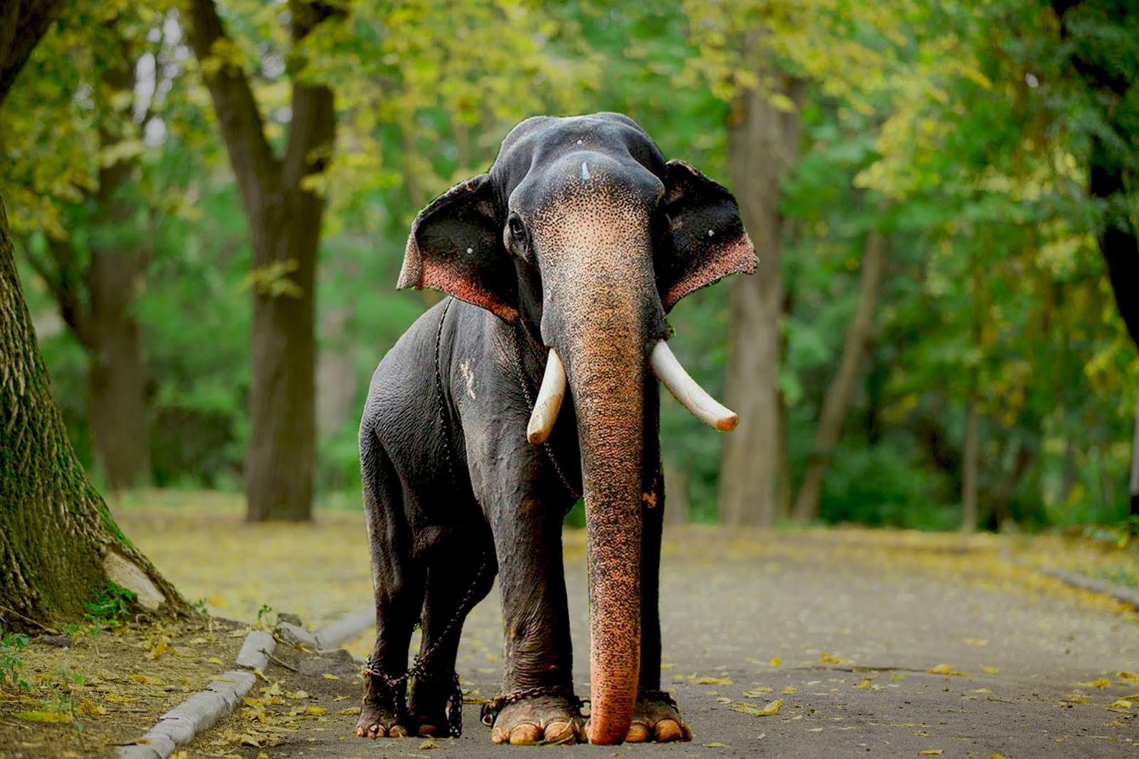 Aanachandam - Kerala Elephants