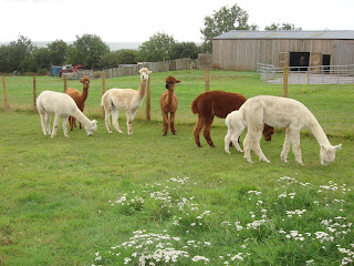 www.alpacas-for-sale.co.uk