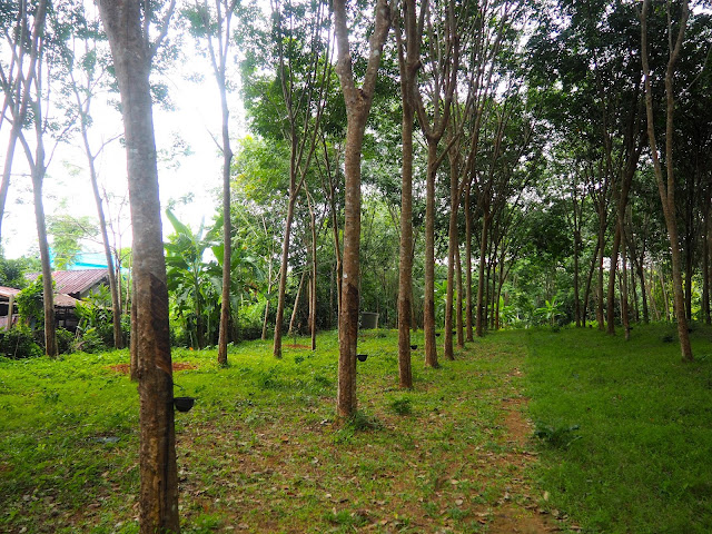 Rubber trees near homestay in Krabi, Thailand