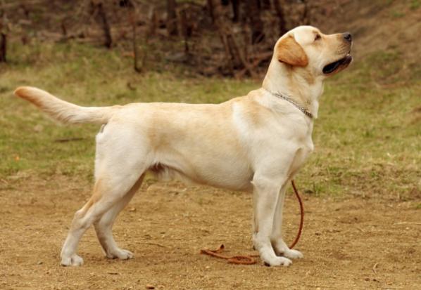 Original Breed Labrador Puppy Price In Nagpur