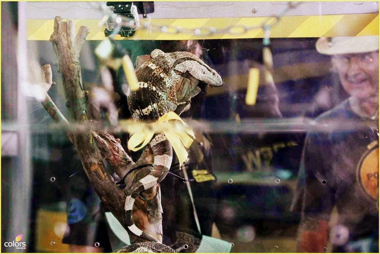 Darr Ka Blockbuster with giant rock monitor lizard at Fear Factor Khatron Ke Khiladi