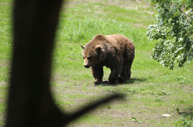 medvetámadás, Hargita megye, Csíkdánfalva, barnamedve, nagyvadak, Székelyföld,