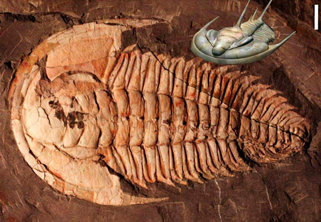 Giant Trilobite Fossil Found on Australia