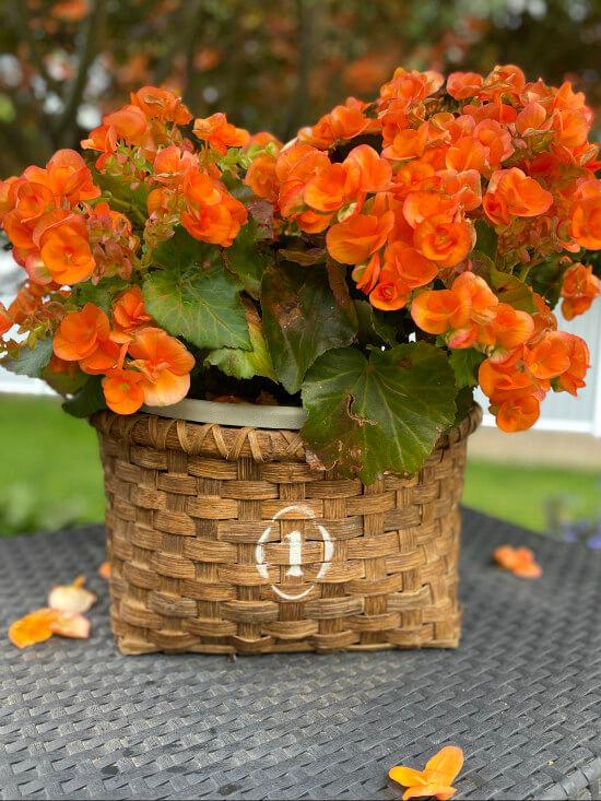 orange begonia in a refurbished basket