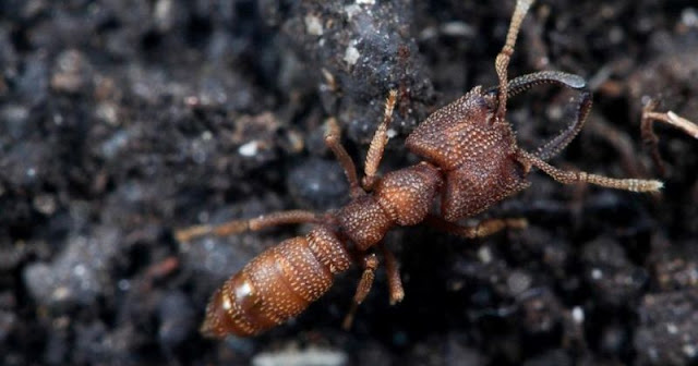 The Dracula Ant Can Snap Its Mandibles At Speeds Of Up To 90 Meters Per Second | The Fastest Animal Movement On Record
