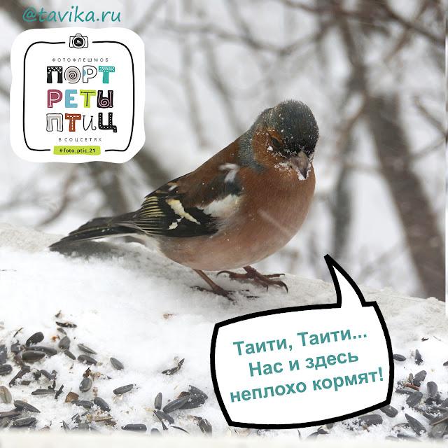 зяблик - портреты птиц