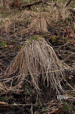 ヤチボウズ ≪Tussock grass≫