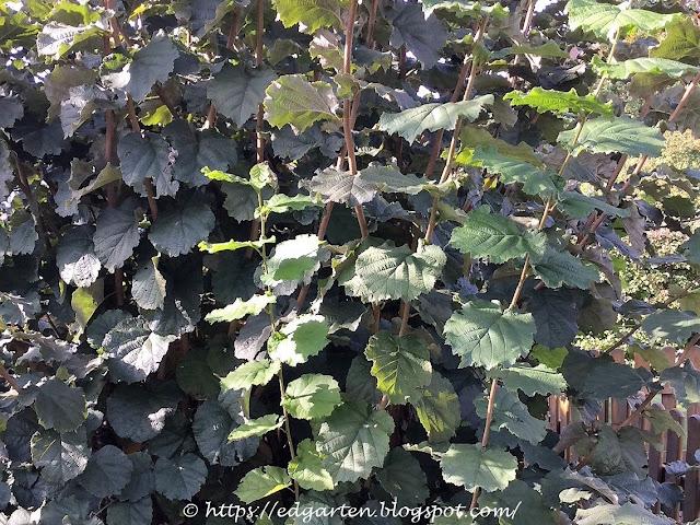 Haseelstrauch mit den dunkelgrünen Blättern