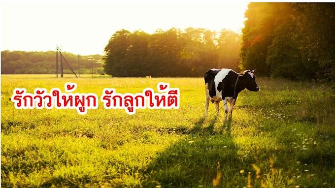 รักวัวให้ผูก รักลูกให้ตี หมายความว่าอะไร ?