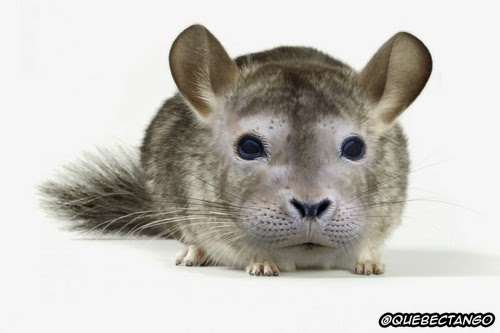 08-Chinchilla-and-Seal-a-Chincheal-Graphics-Designer-Digital-Taxidermist-Animangler-www-designstack-co