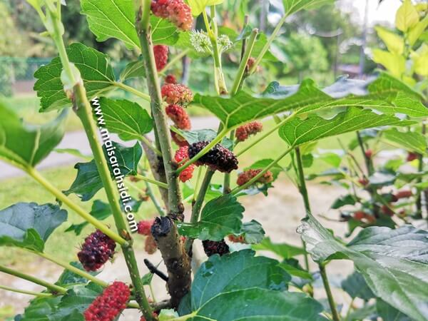 cara lebatkan buah mulberry